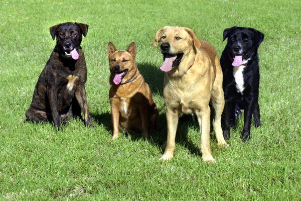 Purebred-dogs