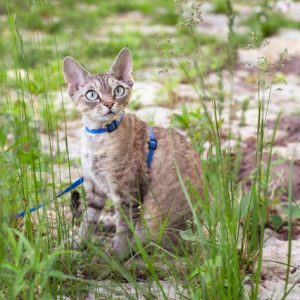 cat on leash, outdoors