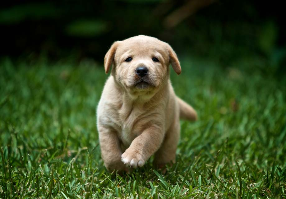 labrador retriever puppy in grass