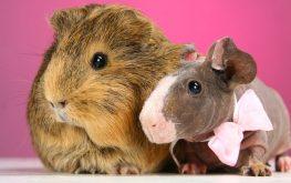National Guinea Pig Appreciation Day