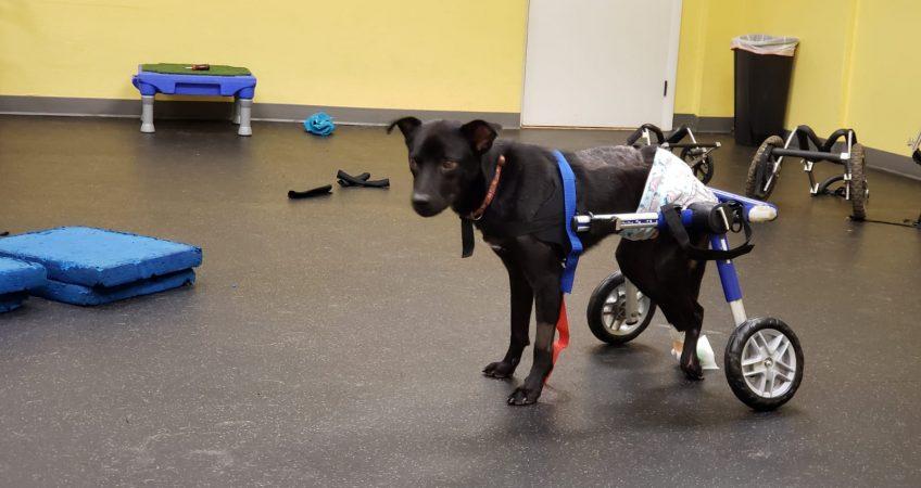 Spinal cord injuries – a dog named Gil