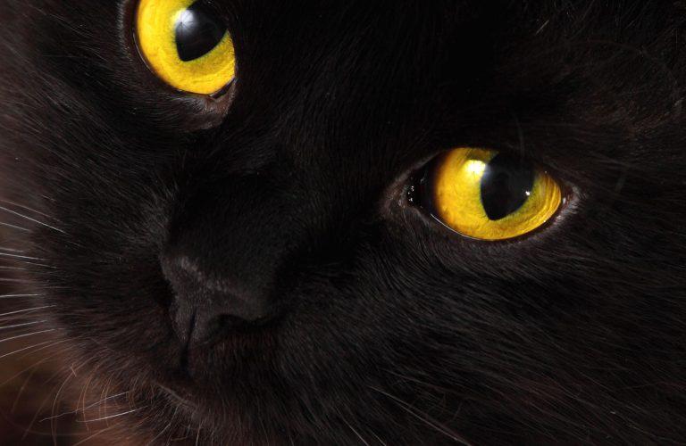 International Black Cat Awareness Month