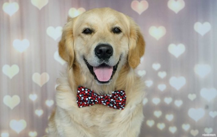 International Golden Retriever Day is today, February 3!