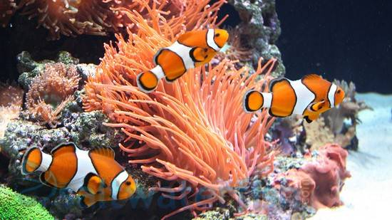 All clownfish are born male – some turn female to enable mating