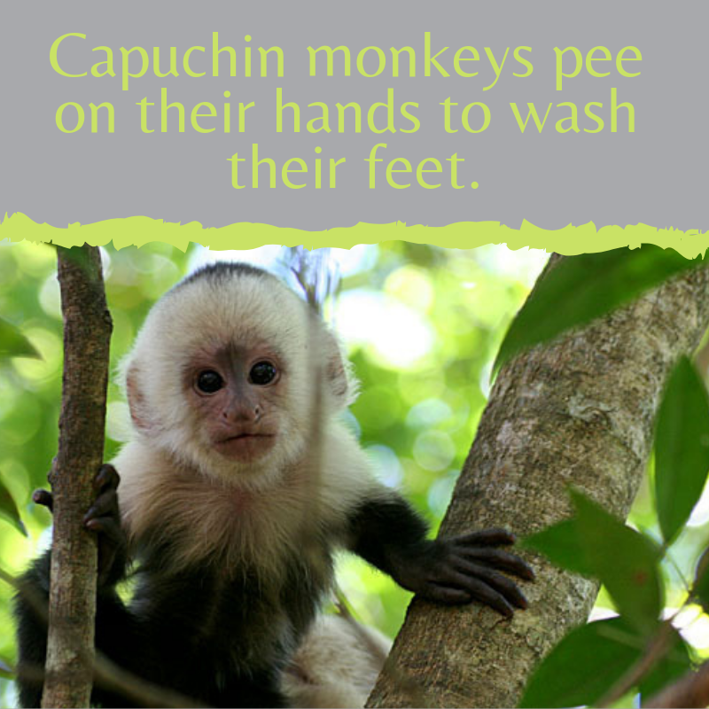 Capuchin monkeys pee on their hands