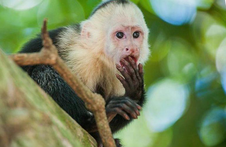 Capuchin Monkeys Do What?!?!