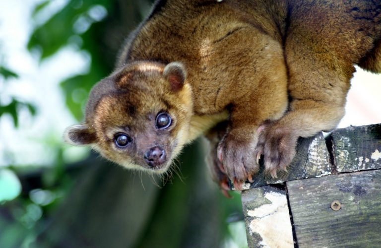 Kinkajous, Have The Ability To Rotate Their Feet, Can Run Equally as Fast Forwards and Backwards.