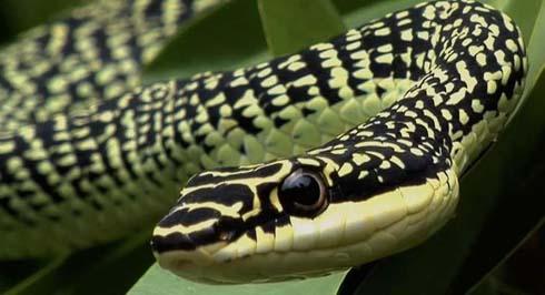 Flying Tree Snakes Can Soar As Far As 330 Feet