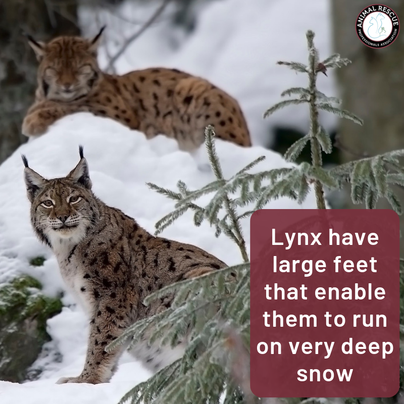 Lynx have large feet that enable them to run on very deep snow