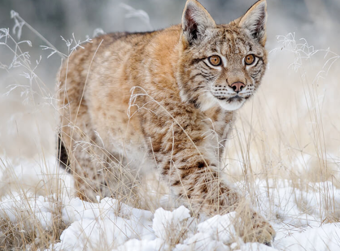 Fascinating facts about Lynx