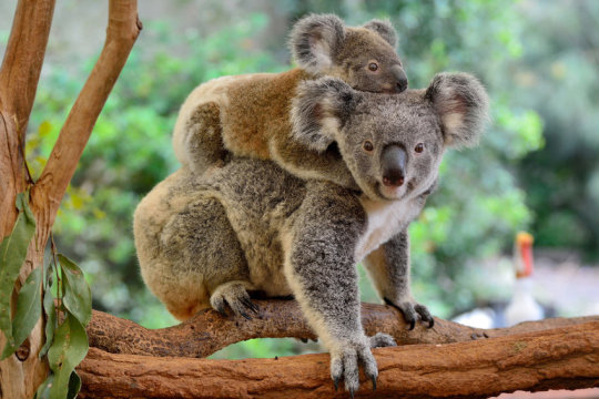 National Wild Koala Day