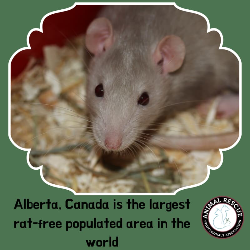 _Alberta, Canada is the largest rat-free populated area in the world
