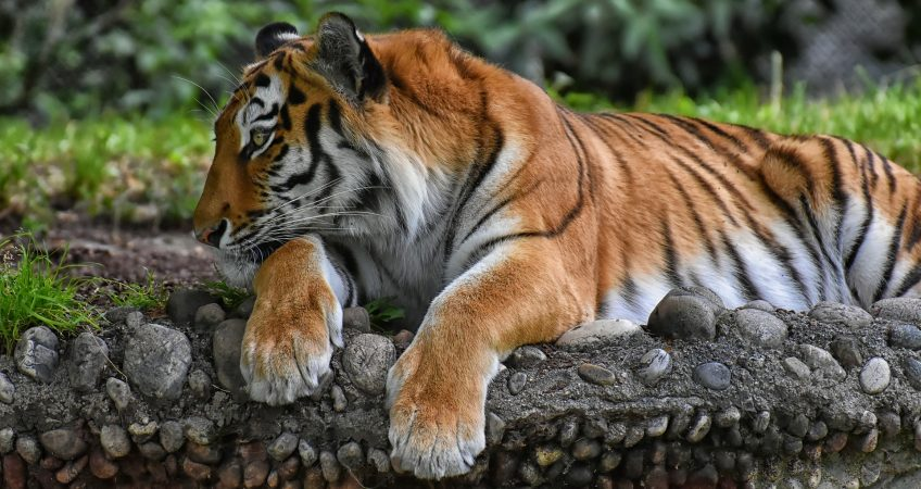Tiger Stripe Patterns Are As Unique As A Human Fingerprint