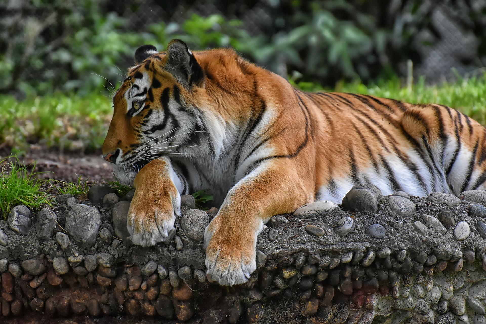 Tiger Stripe Patterns Are As Unique As A Human Fingerprint