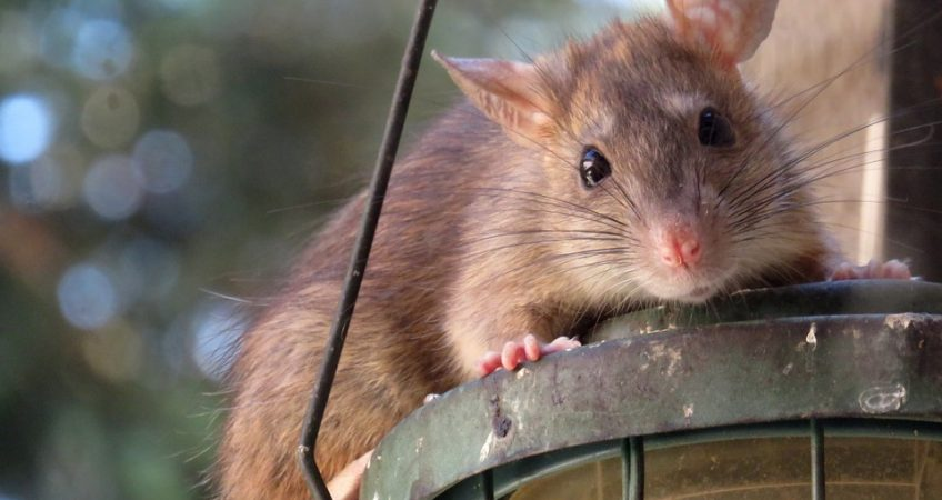 Rats Create How Many Relatives In 18 Months?