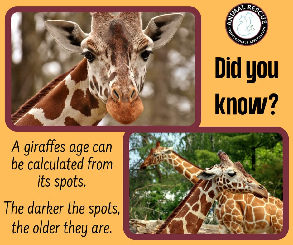 Giraffe age can be calculated from its spots. The darker the spots, the older the giraffe.