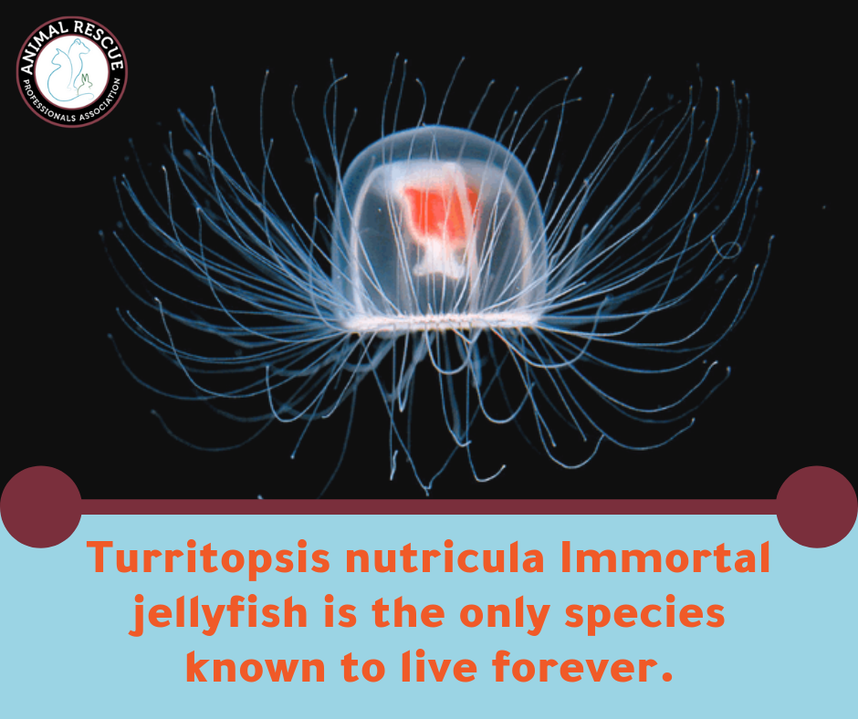 Turritopsis nutricula Immortal jellyfish is the only species known to live forever.