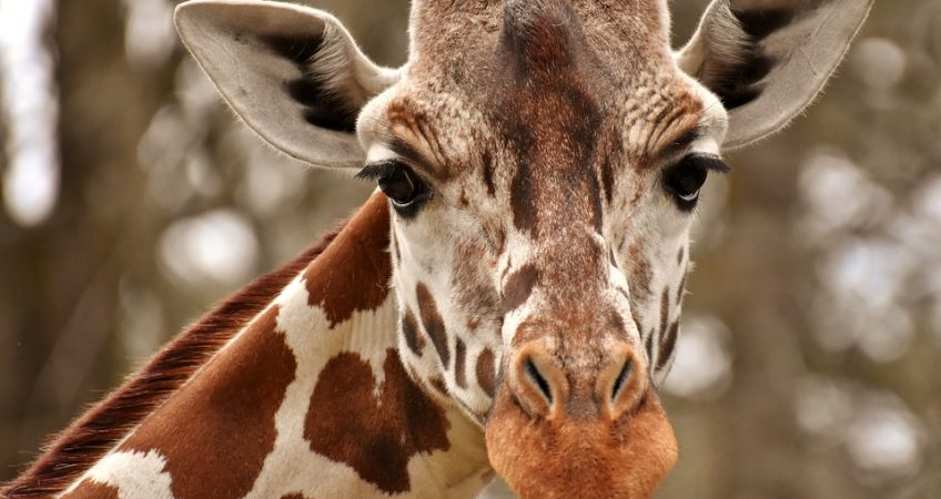 Did you know? A giraffes age can be calculated from its spots. The darker the spots, the older the giraffe.