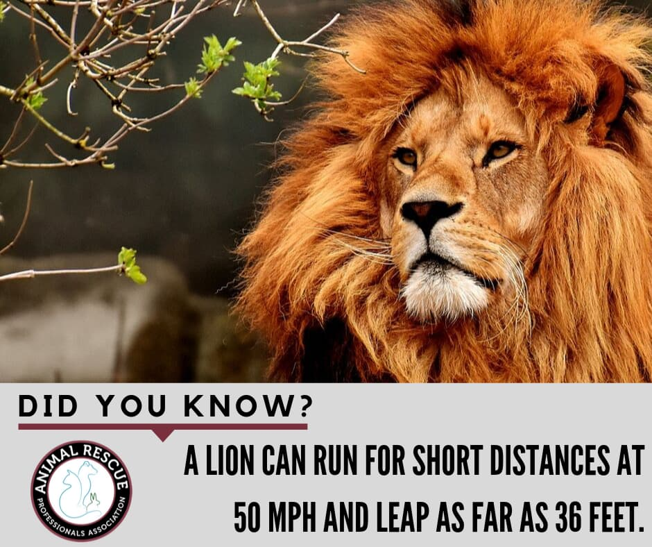 A lion can run for short distances at 50 mph and leap as far as 36 feet.