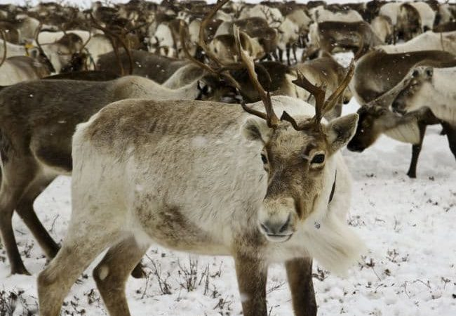 Did you know that a reindeer's eyes change color in the winter?