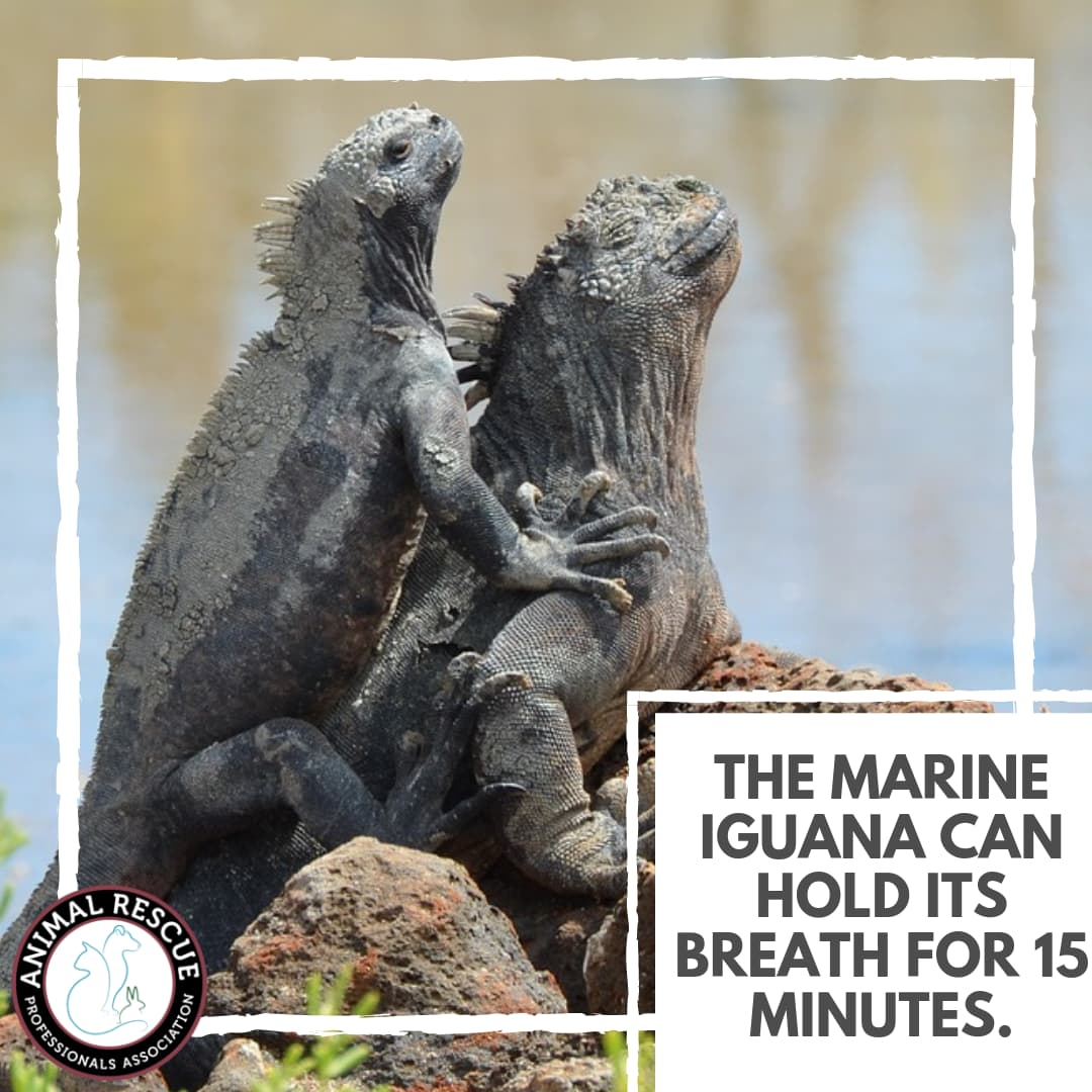 The Marine Iguana can hold its breath for 15 minutes.