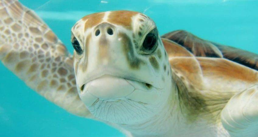 Sea turtles live to be how old?