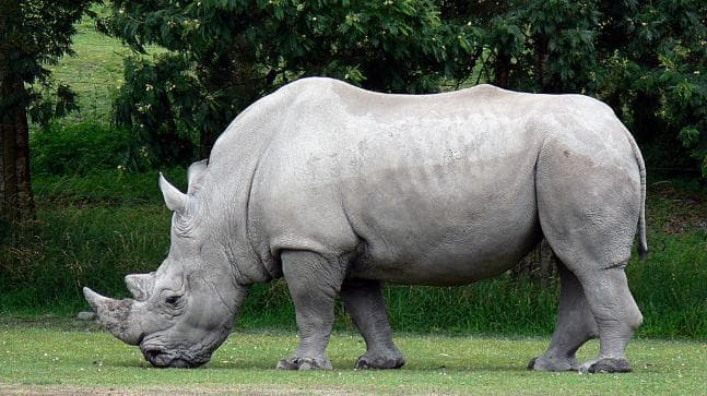 White Rhinos Can Weigh Over 3500 kg (7700 lb)