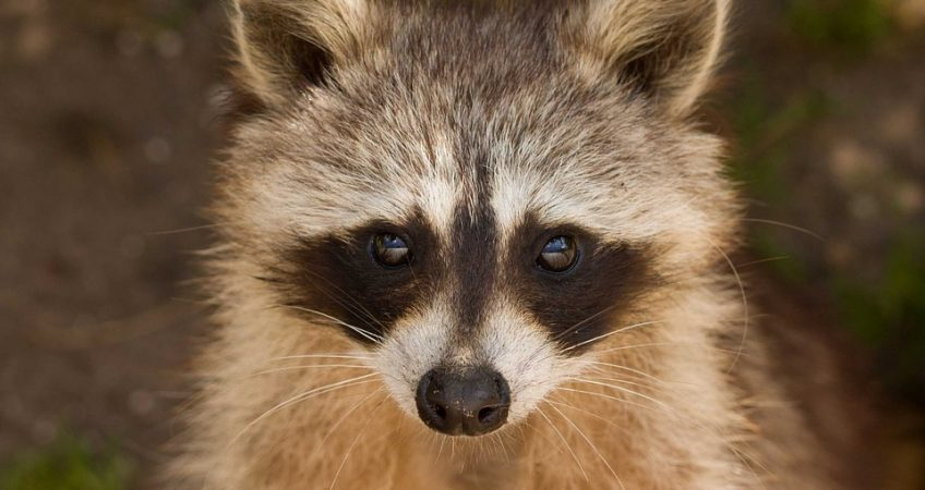The raccoon's sense of touch is its most important and specialized sense.