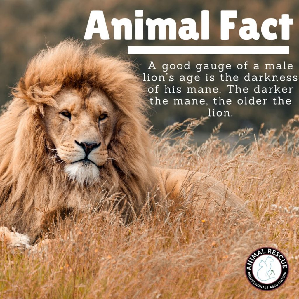 A good gauge of a male lion's age is the darkness of his mane. The darker the mane, the older the lion.