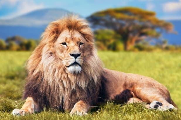 A Lions Age…