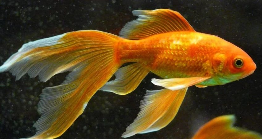 Did you know that goldfish can lose their color and turn completely white?