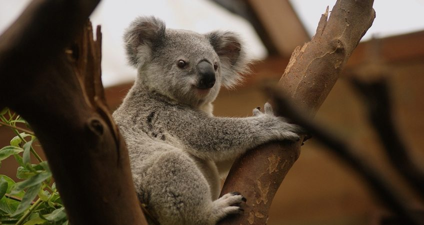 Koalas Have Human-like Fingerprints?!